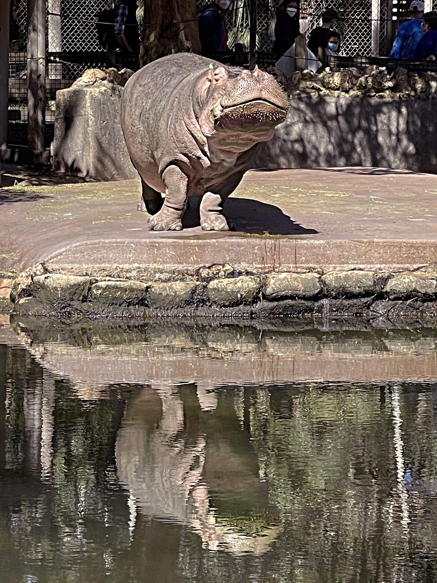 Lu the hippo