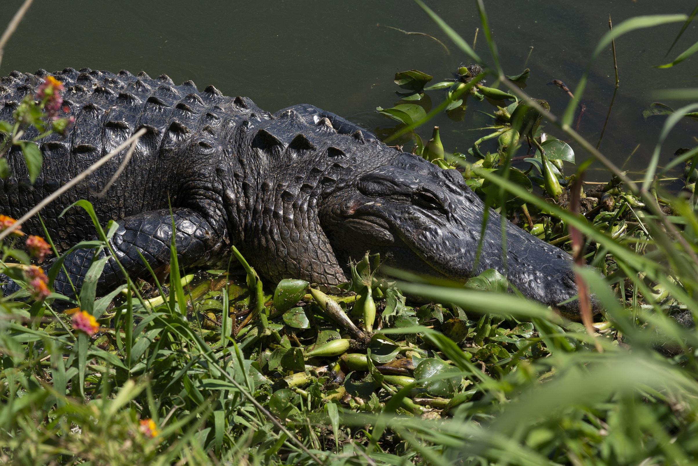Alligator at Circle B Bar Reserve