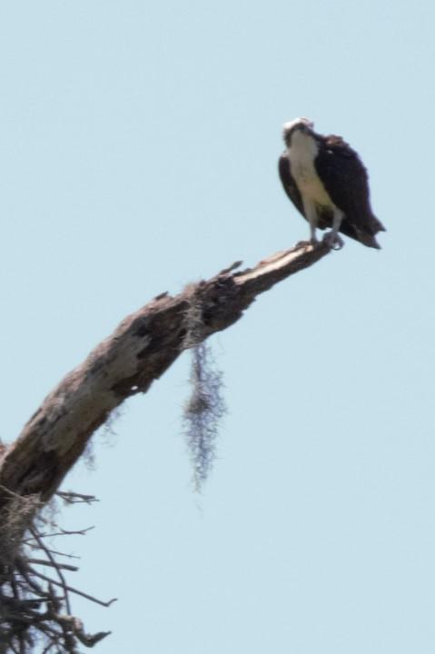 An osprey at Circle B Bar Reserve