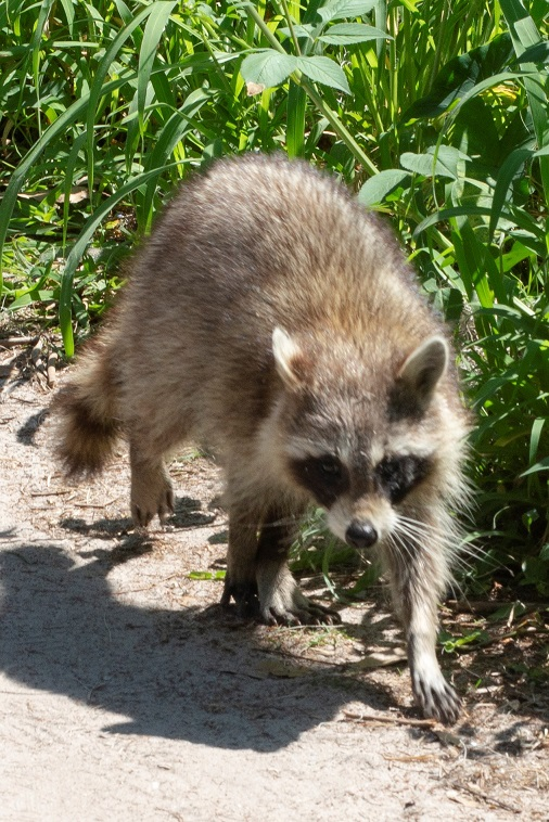 A racoon on the trail